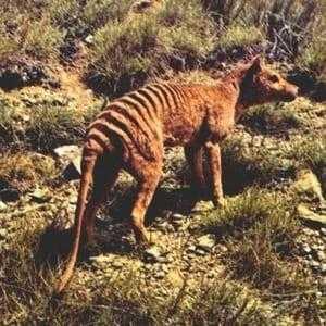 Как выглядел сумчатый волк