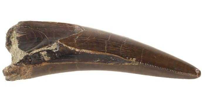 Зуб тирекса
