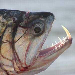 Скумбриевидный гидролик