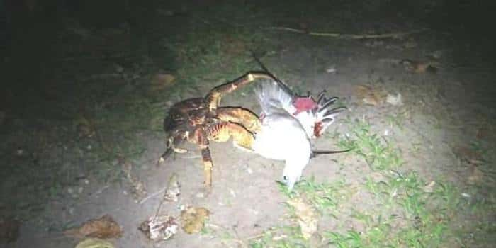 Кокосовый краб убивает птицу