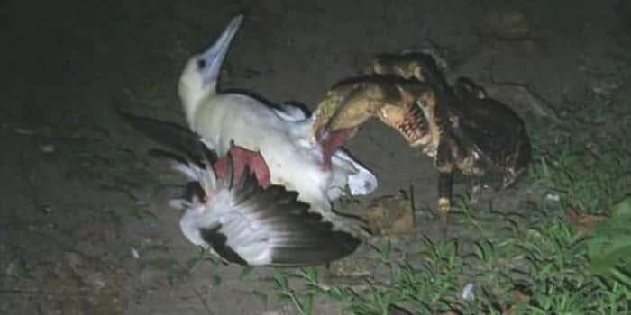 Пальмовый вор душит птицу