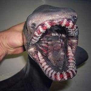Плащеносная акула в руке