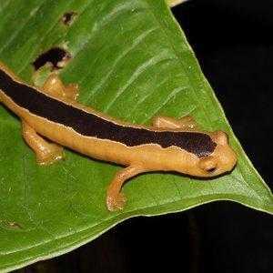 Редкий вид саламандр