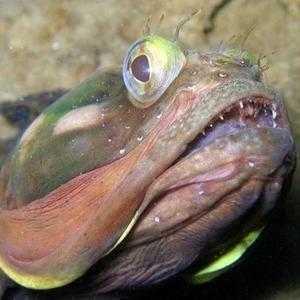Рыба с огромным ртом