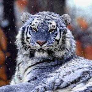 Тигр-криптид