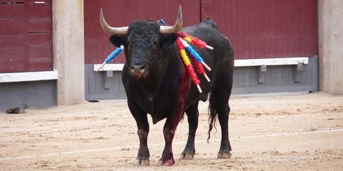 Испанский боевой бык