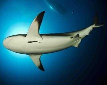 Темноперая акула