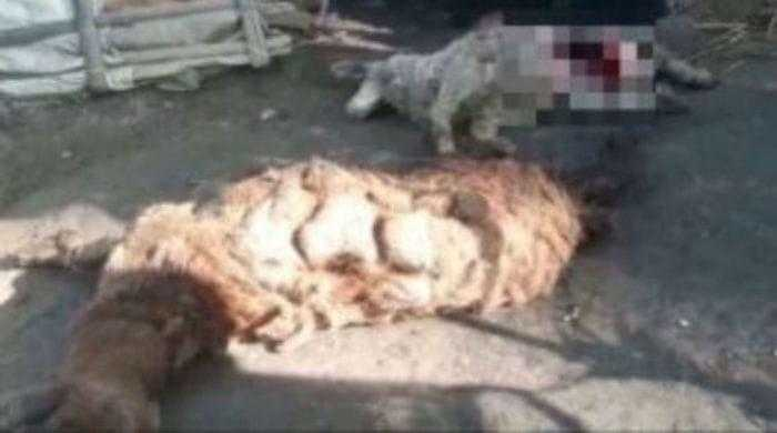 Овцы убитые неизвестным хищником