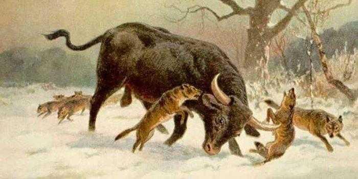 Тур и волки