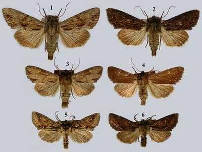 Лепидоптера (lepidoptera)