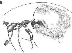 Адский муравей - вампир