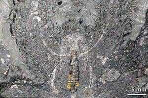 Окаменелое древнее насекомое