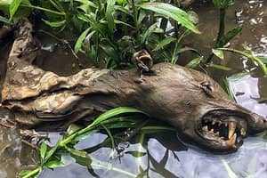 Голова чупакабры
