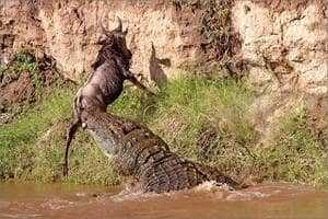 Крокодил нападает на антилопу