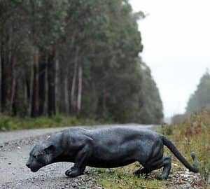 Пантера на дороге