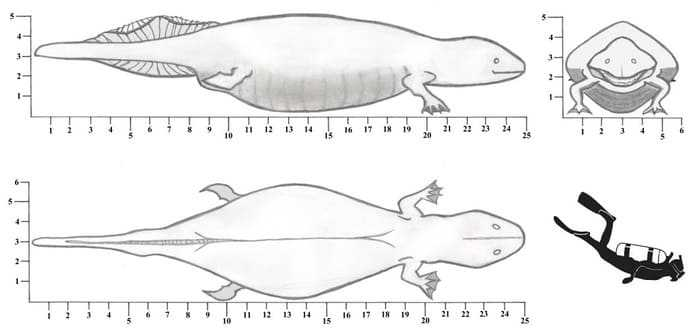Размеры гигантской саламандры и человека