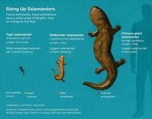 Гигантские саламандры