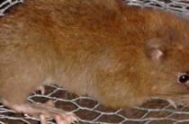 На Соломоновых Островах найден мифический грызун