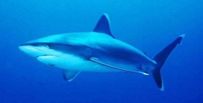 У берегов Тайваня поймана интерсексуальная акула