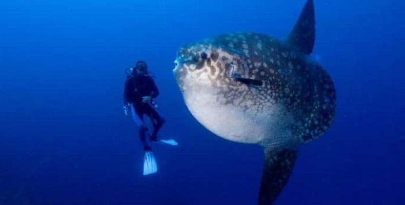 «Бегемот» весом в 2,3 тонны стал рекордсменом среди костных рыб