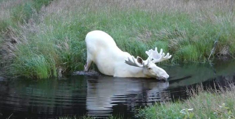 Появились доказательства существования розового дельфина и белого лося в природе