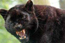 По сообщениям, аномально большой кот напал на человека в Англии