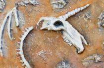 Найден череп «единорога» из Казахстана