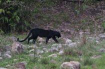 Шотландская «дикая кошка» попала в объектив фотокамеры