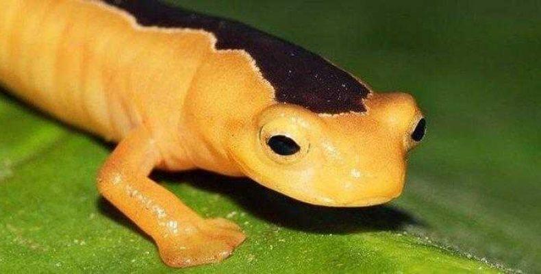 Впервые за 42 года обнаружена редкая саламандра