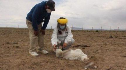 Чупакабра атакует: 50 загадочных смертей животных в Чили