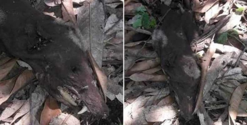 Cущество, похожее на чупакабру, сфотографировано в Колумбии