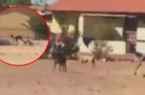 «Человек-пес» из Южной Африки заснят на видео