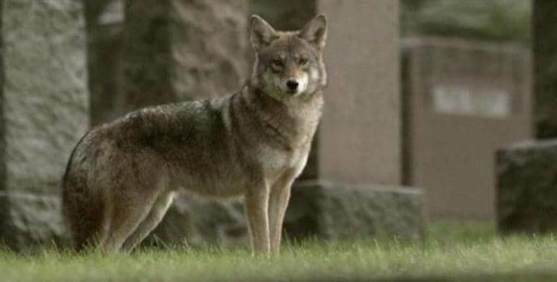 В Нью-Йорке полиция обнаружила гибрид койота и волка
