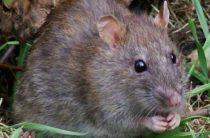 Гигантская крыса из мифов найдена на Соломоновых островах