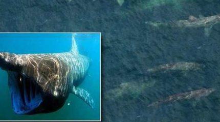 Ученые сообщают об аномальной активности гигантских акул у побережья США