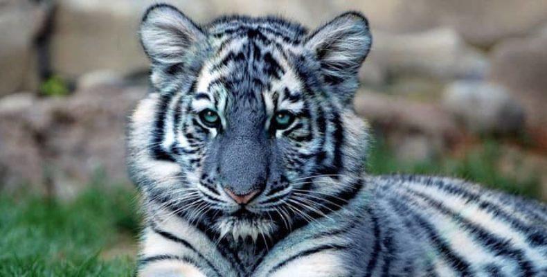 Неуловимый голубой тигр