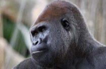 На берег в Ирландии вынесло полуразложившуюся лапу гориллы