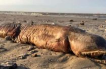 На берег в Техасе выбросило неизвестное клыкастое чудовище