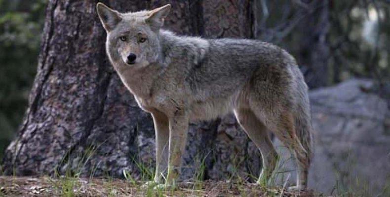 «Озверение»: Койоты с Восточного побережья США перенимают повадки волков