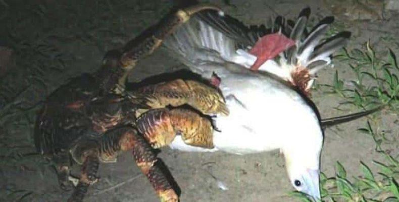Пальмовый вор — краб-убийца