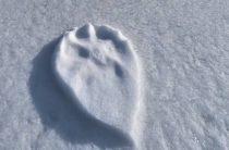 Волк или бигфут? На Аляске обнаружили интересные следы