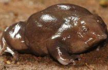 В Индии обнаружена лягушка со свиным пятачком