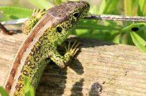 Канадские ученые утверждают, что нашли древнейшего предка змей и рептилий