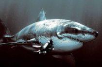 Гигантская вымершая акула мегалодон