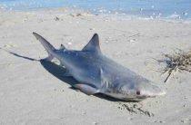 Странное существо и более 50 мертвых акул на берегу