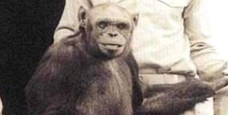 Шимпанзе Оливер: возможен ли гибрид человека и обезьяны
