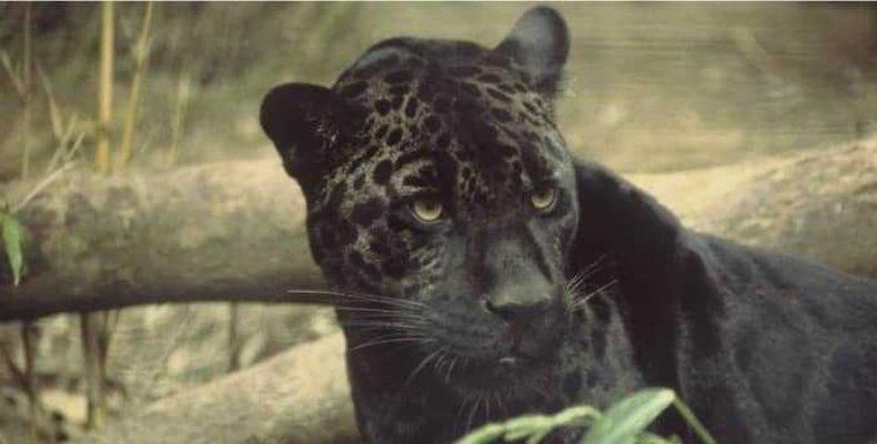 В Австралии снова объявилась мифическая пантера Голубых гор