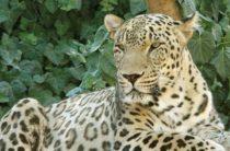 «Вымерший» переднеазиатский леопард замечен на Кавказе