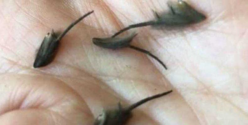 «Инопланетные крысоподобные существа» обнаружены в Новой Зеландии