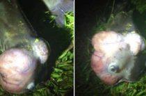 Рыба-мутант озадачила чиновников Южной Каролины